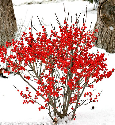 Berry Poppins Winterberry Holly Dwarf Flowering Shrubs