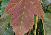 Summer Red Maple