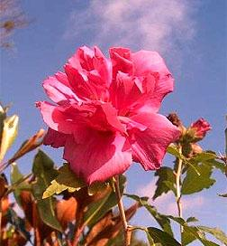 Hibiscus Lucy Tree Form