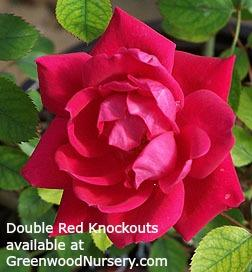 Double Knockout Red Rose Bushes