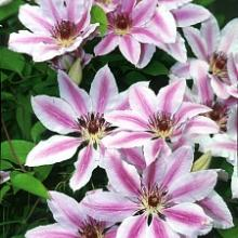 Nellie Moser Clematis