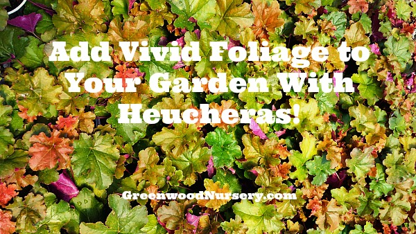 Add colors to your garden with heuchera evergreen perennial plants