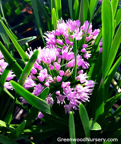 Plant of the year 2018 - millenium allium flowering onion