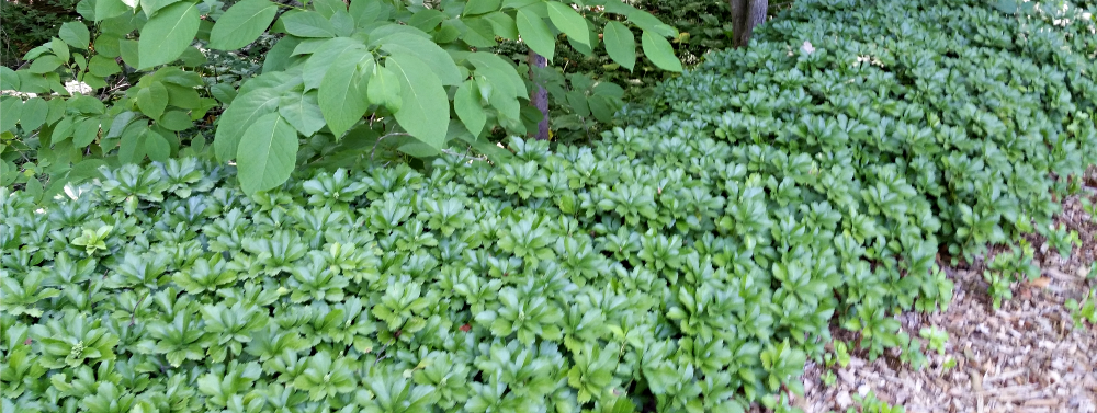 Pachysandra Ground Cover!