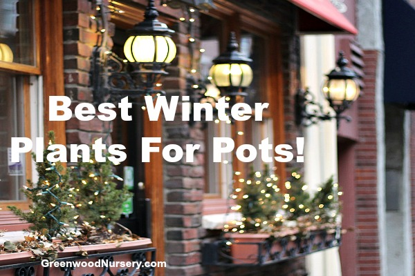 Best plants to plant in winter pots