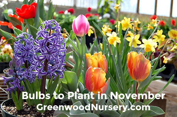 Bulbs to plant in November