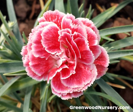 evergreen dianthus small perennial flowering plants