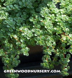Elfin Thyme Creeping Ground Cover