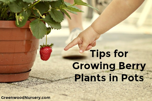 tips for Growing berry plants in pots