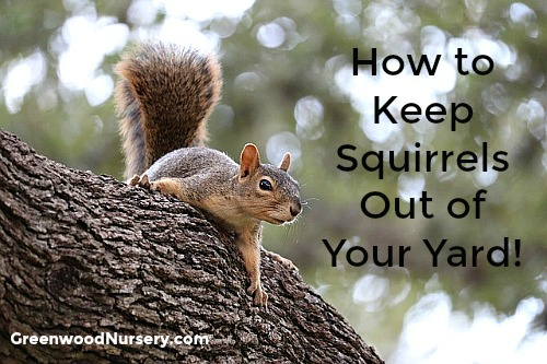 How to keep squirrels out of your garden yard and from doing damage
