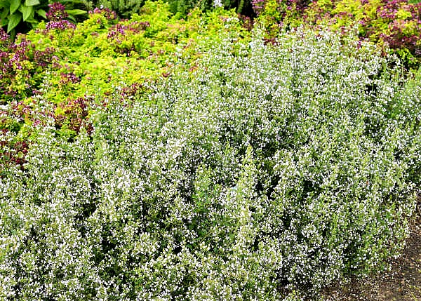 Calamintha Nepeta White Flowering Pollinator Plant of the Year