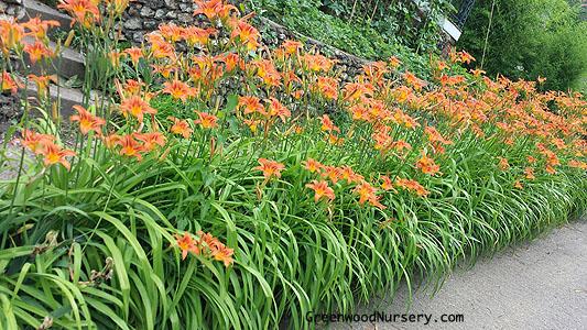 Planting Daylily Plants