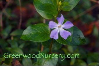 Periwinkle Blue Vinca Blossom