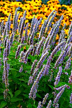 agastache blue fortune fragrant perennial plants. Black Bedroom Furniture Sets. Home Design Ideas