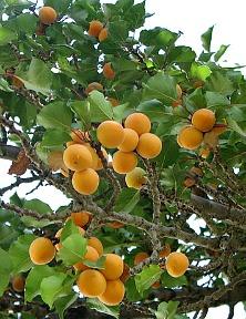 Lục Bát Hoa ĐV - Page 6 Apricots%20on%20Tree