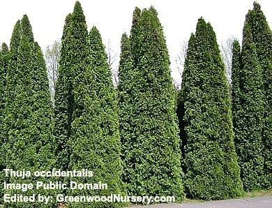 Arborvitae Pyramidal Evergreen Trees