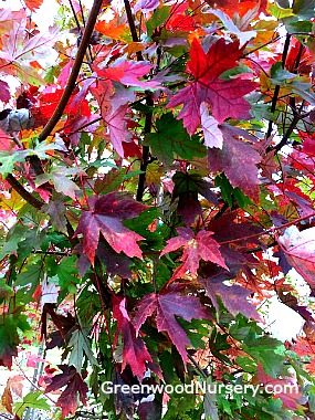 Autumn Blaze Red Maple Fall Color Leaves