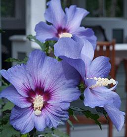 Azurri Blue Satin Rose of Sharon
