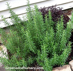 Barbeque Rosemary