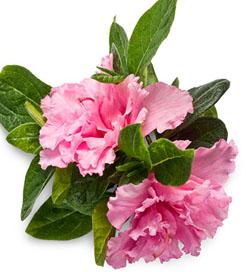 Bloom-A-Thon Pink Double Azalea