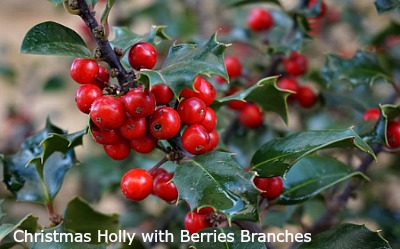 christmas holly with berries branches