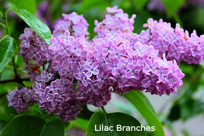 flowering lilac branches