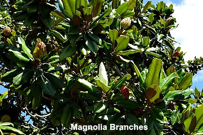 evergreen magnolia branches