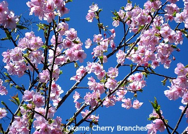 Okame Cherry Forced Branches