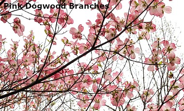 forced pink dogwood branches