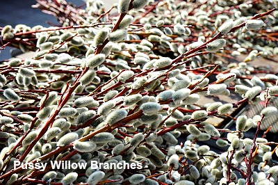 Pussy Willow branches with catkins