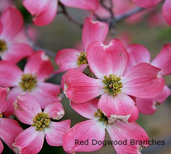 red dogwood flowering branches