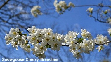 Snowgoose flowering branches