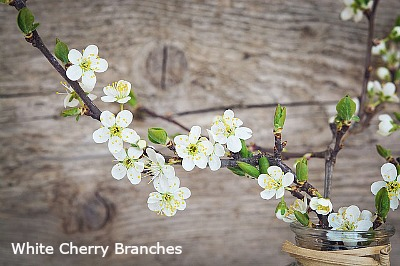white cherry branches in flower