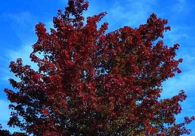Brandywine Maple Tree Flowering Trees