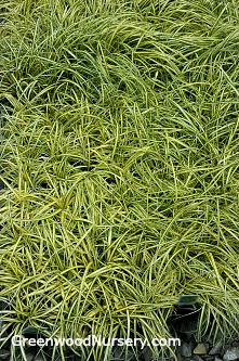 Carex Evergold Sedge Evergreen Grasses