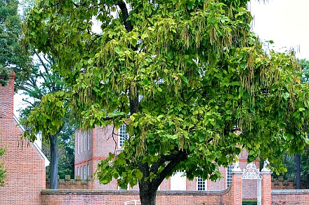 Catalpa Tree with Seed pods
