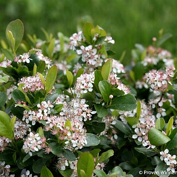 Dwarf Chokeberry Plants For Sale Greenwood Nursery