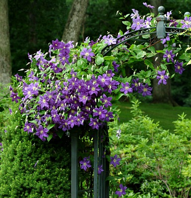 purple flowering jackmanii clematis grow on an arbor