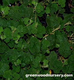 Creeping raspberry vigorous ground cover