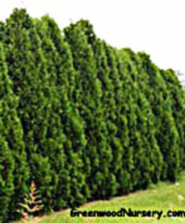 Dark Green Thuja Arborvitae