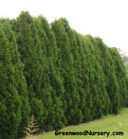 Dark Green Arborvitae Privacy Hedge