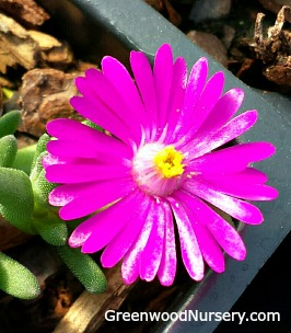 Purple Ice Plant - Delosperma