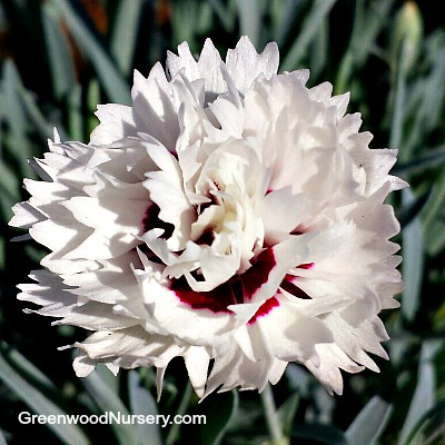 Dianthus silver star white flowering perennials dianthus silver star mightylinksfo