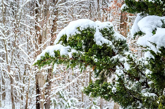 Snow on Eastern Red Cedar Tree