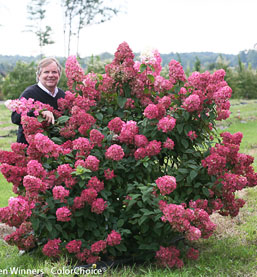 Fire Light Hydrangea Paniculata Flowering Shrubs