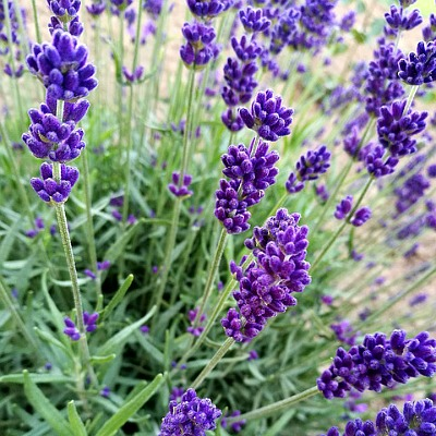 13 Must Have Purple Flowering Plants For Every Garden