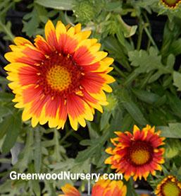 Gaillardia Arizona Sun Perennial Flowering Plants