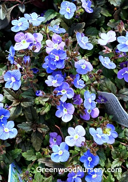 Veronica Georgia Blue Buy Blue Flowering Ground Cover