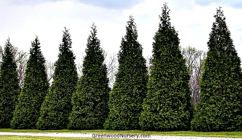 Thuja Green Giant Privacy Hedge