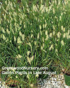 Pennisetum 'Hameln' Dwarf Grass